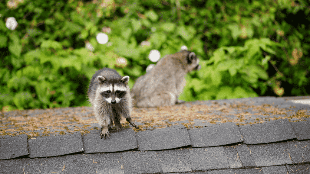 Raccoons on Roof